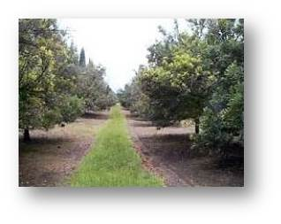 mac nuts orchard